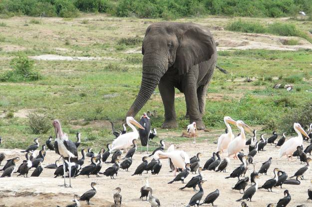 Elephant with birds