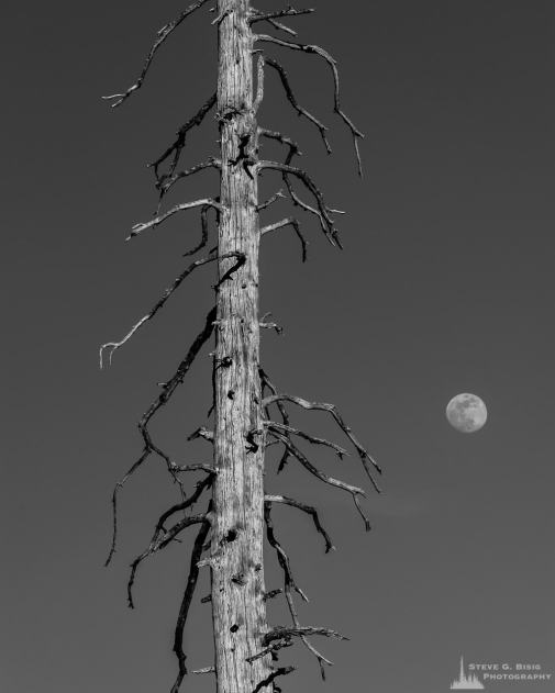 A black and white photograph of a silvered alpine snag with a nearly full moon shining brightly on a clear Spring evening in the Paradise area of Mount Rainier National Park, Washington.