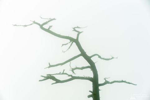 A photograph of the silhouette of a dead tree on a foggy summer day at Deception Pass State Park, Washington.
