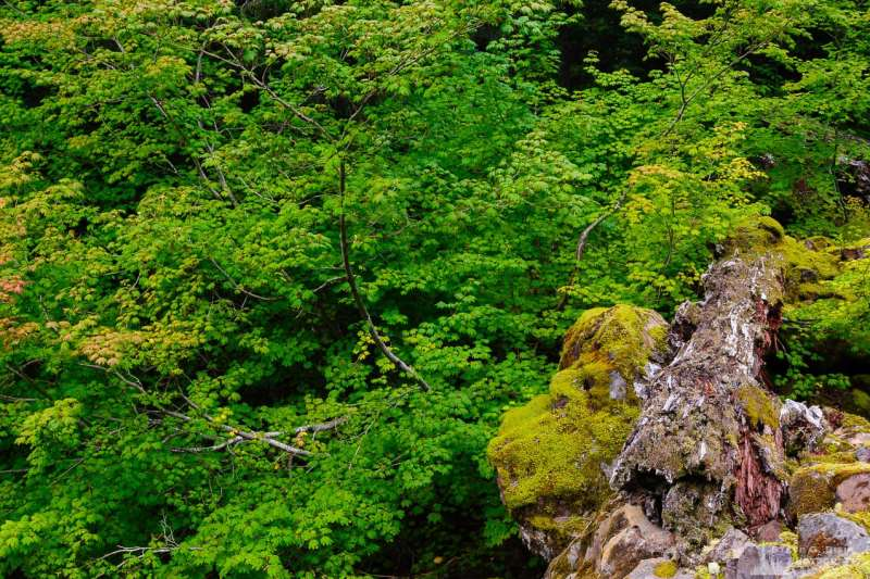 A nature photograph of late summer  vine maples as viewed along Forest Road 5230 in the Gifford Pinchot National Forest in Lewis County, Washington.