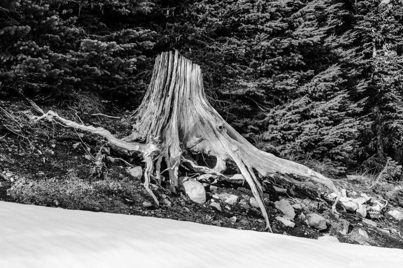 A black and white nature photograph of an old silver stump above a blanket of early spring snow along Gifford Pinchot National Forest Road 1284 in Lewis County near White Pass, Washington.
