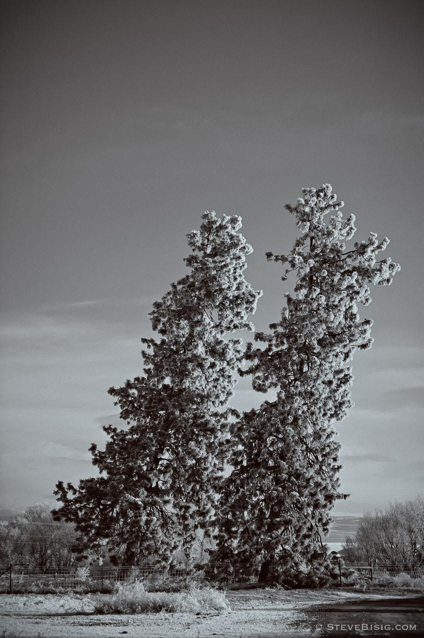 Leaning Pine Trees, Umptanum Road, Ellensburg, Washington, 2011