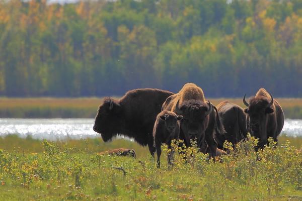Bison in autumn