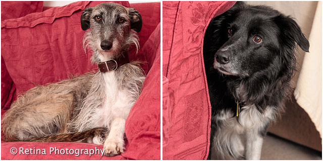 Long Haired Lurcher And Collie Dog Portraits