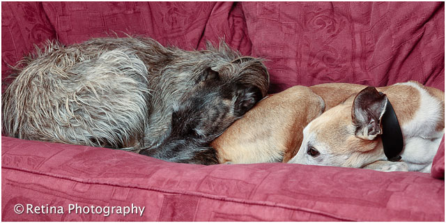 Lurcher Pet Dogs on Red Sofa