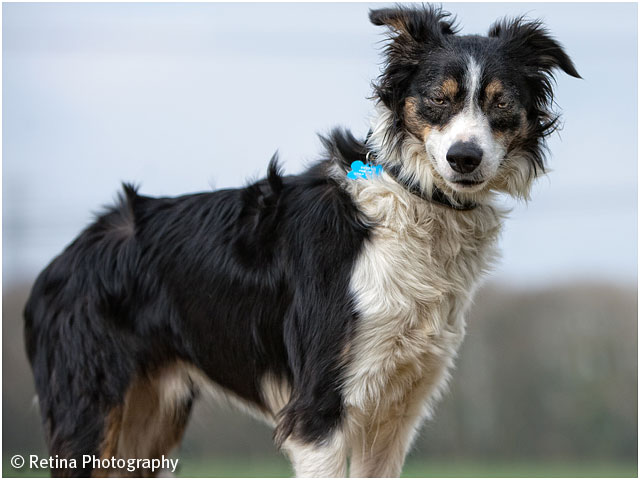 Dog Agility Collie Dog Posiing For Camera