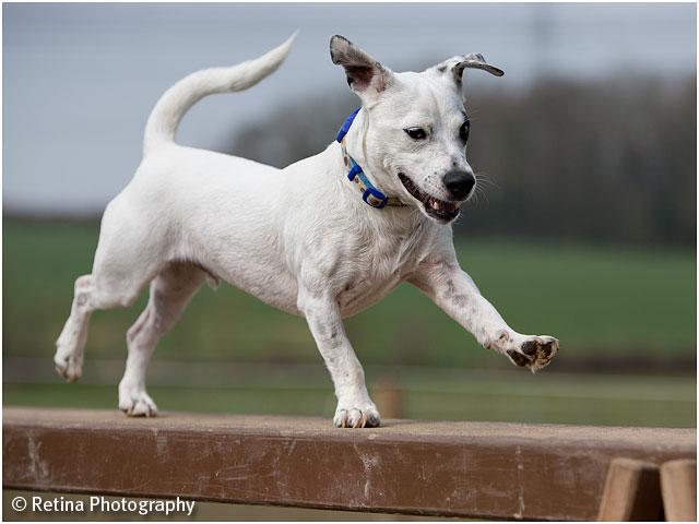 Dog Agility Long Beam