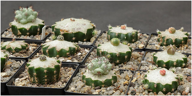 Several Echinopsis Grafted Cactus Plants Growing In Pots