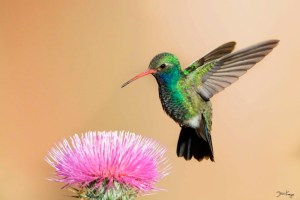 Broad-billed Hummingbird, Male, Flying to New Mexico Thistle, (c) Photo by Steve Kaye