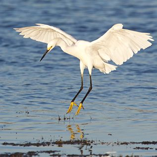 Snowy Egret, on Web Site for Steve Kaye, Professional Speaker and Photographer