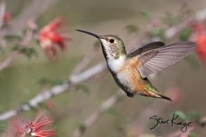 Allen's Hummingbird, Female, (c) Photo by Steve Kaye