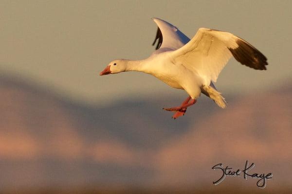 Snow Goose, Landing, (c) Photo by Steve Kaye, Inspiring Presentations by Steve Kaye