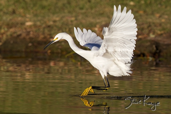 Snowy Egret, (c) Photo by Steve Kaye