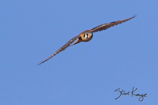 American Kestrel, Male, Flying, (c) Photo by Steve Kaye, in post - Nice Tail