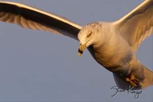 Ring-billed Gull, (c) Photo by Steve Kaye