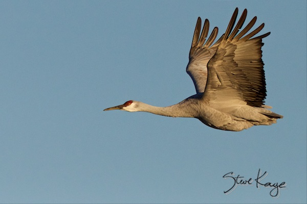 Sandhill Crane, (c) Photo by Steve Kaye