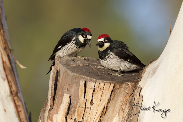 Acorn Woodpeckers, Female (Left) and Male (Right), (c) Photo by Steve Kaye, in blog post: This bird lives like a farmer