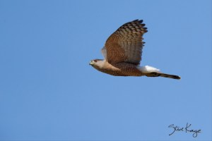 Cooper's Hawk, Flying, (c) Photo by Steve Kaye
