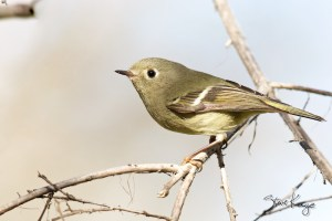 Ruby-crowned Kinglet, (c) Photo by Steve Kaye