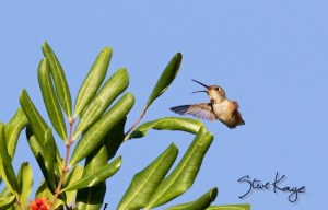 Allen's Hummingbird, Juvenile Male, (c) Photo by Steve Kaye