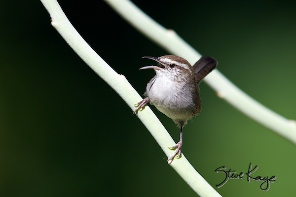 Bewick's Wren, (c) Photo by Steve Kaye