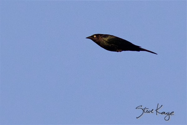 Brewer's Blackbird, Male, (c) Photo by Steve Kaye