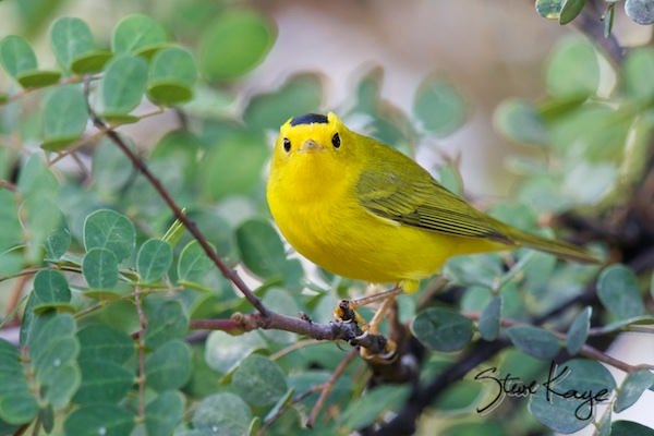 Wilson's Warbler, Male, (c) Photo by Steve Kaye, in post: Welcome Back