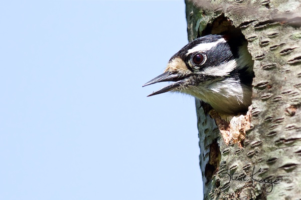 Downy Woodpecker, Male, (c) Photo by Steve Kaye