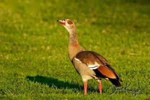 Egyptian Goose, Male, © Photo by Steve Kaye