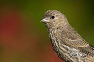 House Finch, Female, (c) Photo by Steve Kaye