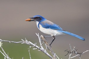Western Scrub-Jay with an Acorn, (c) Photo by Steve Kaye