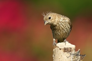 House Finch, © Photo by Steve Kaye