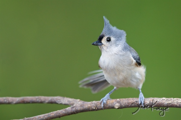 Tufted Titmouse, © Photo by Steve Kaye