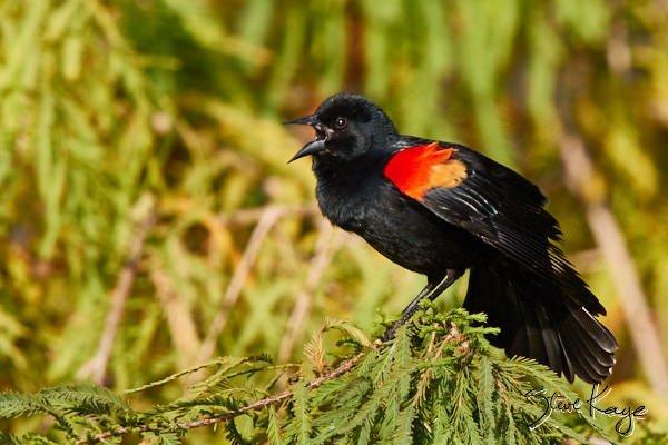 Red-winged Blackbird, © Photo by Steve Kaye