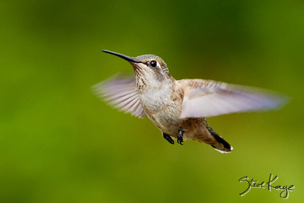 Allen's Hummingbird, Female, (c) Photo by Steve Kaye