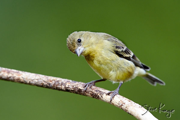Lesser Goldfinch, Female, © Photo by Steve Kaye