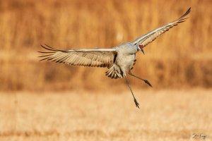 Sandhill Crane, on Steve Kaye Home Page