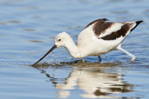 American Avocet, © Photo by Steve Kaye, on Web Site for Steve Kaye, Professional Speaker and Photographer