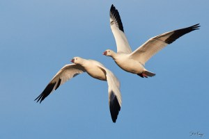 Ross's Goose, © Photo by Steve Kaye, on Web Site for Steve Kaye, Professional Speaker and Photographer