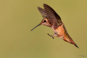 Rufous Hummingbird, © Photo by Steve Kaye, on Web Site for Steve Kaye, Professional Speaker and Photographer