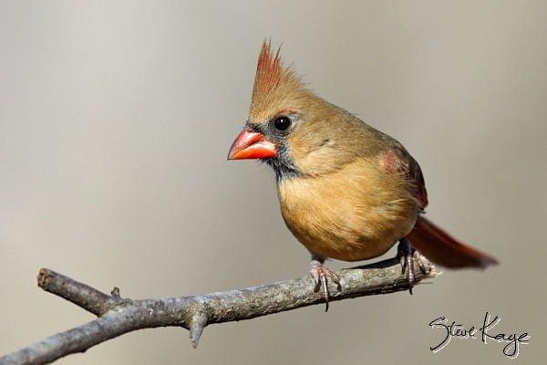 Northern Cardinal, © Photo by Steve Kaye