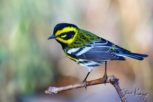 Townsend's Warbler, Male, © Photo by Steve Kaye,