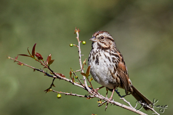 "Song Sparrow, © Photo by Steve Kaye, in blog post ""Conversation with a Song Sparrow"""