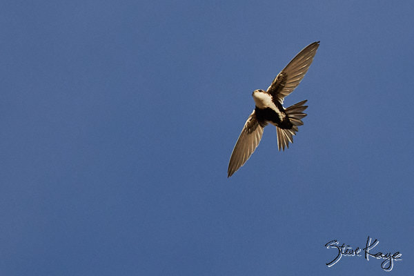 "White-throated Swift, © Photo by Steve Kaye, in blog post: ""Progress Report"""