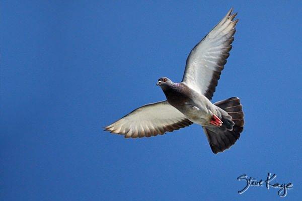 Rock Pigeon, © Photo by Steve Kaye