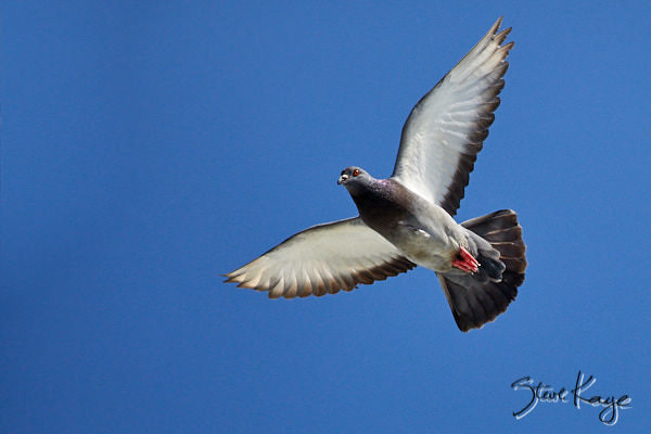"""Rock Pigeon, © Photo by Steve Kaye, in blog post, """"Rock Pigeon Movie"""""""
