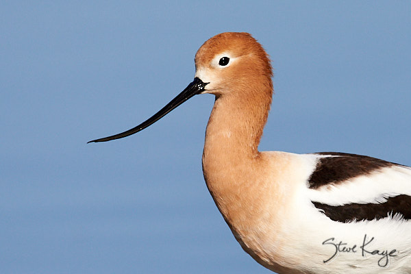 American Avocet, © Photo by Steve Kaye