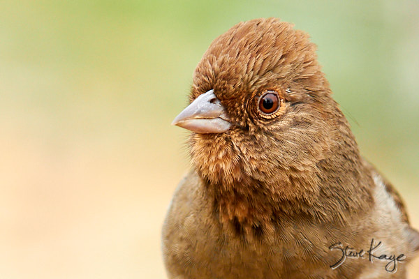 "California Towhee, © Photo by Steve Kaye , in blog post ""Connection With Life"""