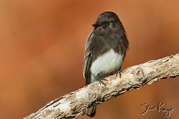 Black Phoebe, © Photo by Steve Kaye, in blog post: Question for a Bird
