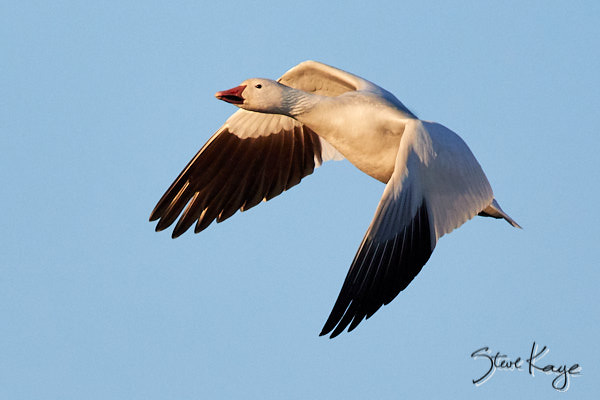 Snow Goose, © Photo by Steve Kaye